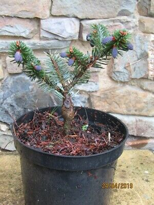 Abies Lasiocarpa Glauca Compacta In 7cm Pot Ideal Bonsai Subject