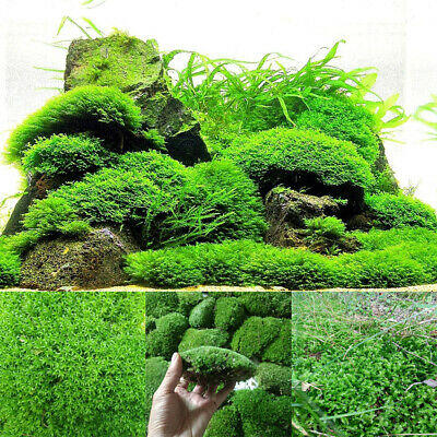 Natural Aquarium Moss Live Aquatic Plants Grass Fish Tank Aquascaping Landscape