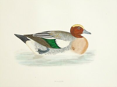 Wigeon Duck - Morris Antique 1860 Victorian Hand Coloured Bird Print