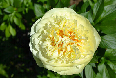 """Beautiful Peony """"Yellow Prince"""" Root Plant Giant Lightly Pink Flowers!"""