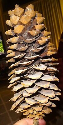"""Large 12"""" Sugar Pine Cone from Sierra Nevada Calif. Mountains, Beautiful"""