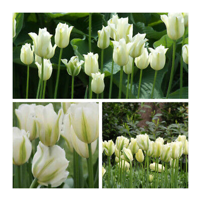 Spring Green Tulip x 100 Bulbs.Lovely White flowers. Easy to grow