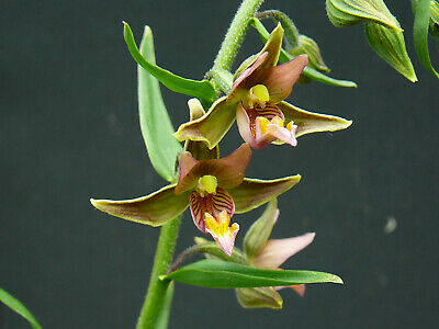 "Epipactis ""Sommer"" -Sumpfsitter- Orchidee"