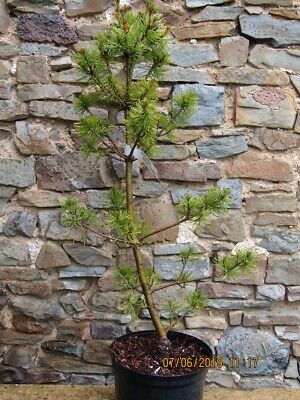 Pinus parviflora 'Schoons bonsai' 7.5L 88-95cm new cones now, see extra picture