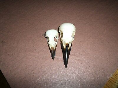 2 X BIRDS SKULLS ROOK & MAGPIE - Goth Wiccan Arts Crafts Photography sketching