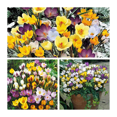 Mixed Species Crocus x 50 Bulbs.Bright Early Spring Flowering Bulbs