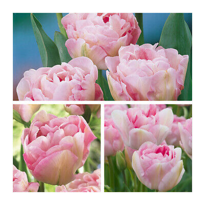 Angelique Tulip x 100 Bulbs.Multi Headed blooms.Pretty Spring Flower
