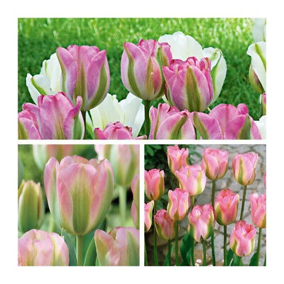 Greenland Tulip x 10 Bulbs.Green and Pink Flowers, Easy to grow