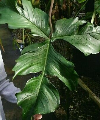Rare Hybrid Philodendron Pedatum Aroid Healthy Strong Variety Starter Plant