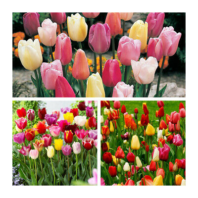 Mixed Triumph Garden Tulips x 10 Bulbs.Beautiful variety of colour.