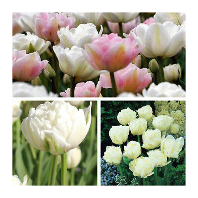 Mount Tacoma Tulip x 10 Bulbs.Double Late Spring Blooms.Easy to grow