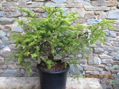 Abies pinsapo 15L 65-75 x 120 @ 25yrs, slow grown. SPECIMEN, rare at this size