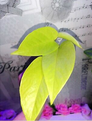 Rare NEON Pothos House Plant Air Purify & Aquarium Nitrate Remover Healing Plant