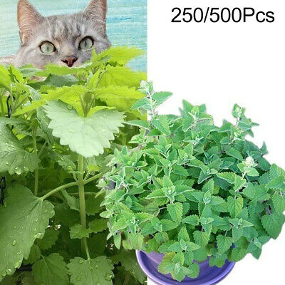 250/500Pcs Nepeta Cataria Seeds Catnip Catmint Herb Plant Garden Bonsai Decor*