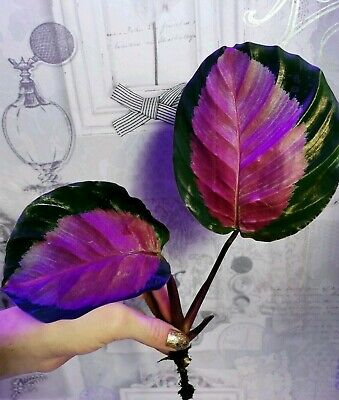 Rare Calathea Crimson Pink Tropical Plant Rooted Healthy Starter Houseplant Gift