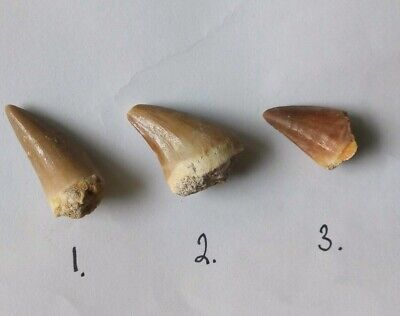 1x Mosasaur Tooth Genuine Marine Reptile Fossil Dinosaur Tooth 25-30mm