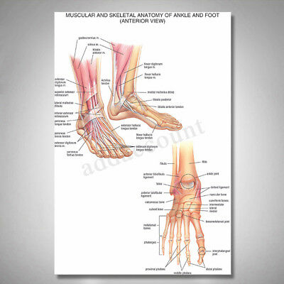 Muscular Skeletal Ankle Posters Silk Cloth Chart Human Body Anatomy Educational