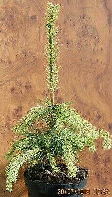 Pinus sylvestris 'Candlelight' 7.5L 65-75cm main picture is the exact offer