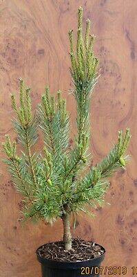 Pinus sylvestris 'Chantry Blue' 5L 80-90cm  main image is the exact offer