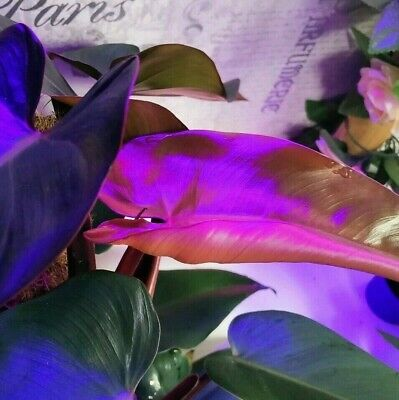 New Hybrid Philodendron Royal Queen Aroid Tropical Starter Plant New Growth Pink