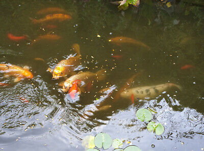 LARGE YELLOW KOI fish - £27 00 | PicClick UK