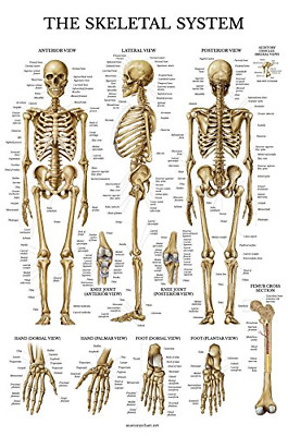 Skeletal System Anatomical Chart LAMINATED Human Skeleton Anatomy Poster