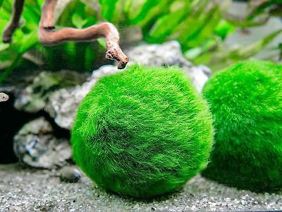 Marimo Moss Ball Live Aquarium Aquatic Plants Algae Fish Shrimp Tank Decor 3-4cm