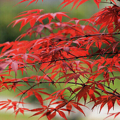10Pcs Red Maple Tree Seeds Acer Palmatum Plant Bonsai Home Garden Yard Decor New