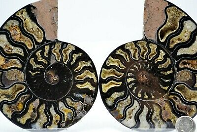 "RARE 1-n-100 BLACK PAIR Ammonite Crystal LG 122mm Dinosaur FOSSIL 4.8"" e2457xv"