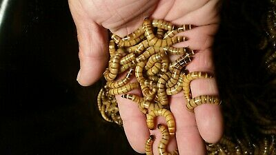 100 Live Super Worms Lg - Live Delivery Guarantee - FREE SHIPPING