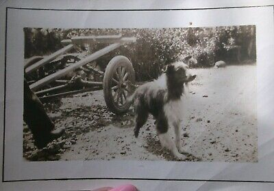 Vtg Photo  Early 1900's COLLIE Dog Pet  SNAPSHOT  Sepia