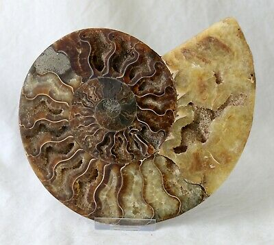 17cm Cut Agatized Ammonite Fossil from the Cretaceous of Madagascar