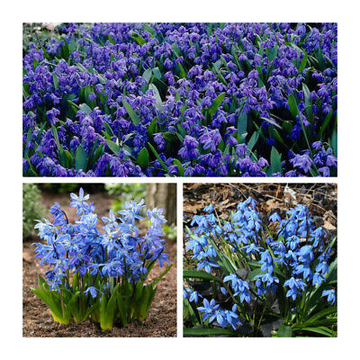50 x Scilla Siberica Bulbs.Pretty Spring Flowers. Siberian Squill