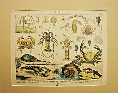 19th. Century German Hand Colored Print from a Book - SEA CREATURES