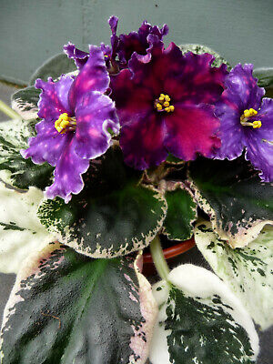 African Violet LE Yuzhnaya Noch- flowering plant from photos