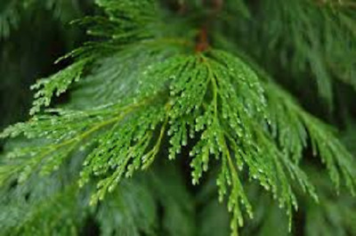 Calocedrus deccurrens Incense Cedar - 9cm pot grown Libocedrus