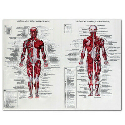 Human Body Muscle System Poster Anatomical Chart Educational Poster AU L1V7C