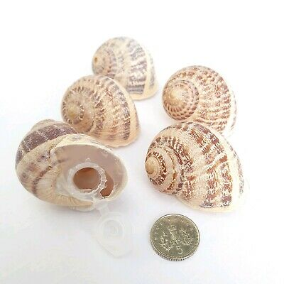 5 Sneaky Snail Shell Geocache Micro Container Natural Magnetic & Log Options