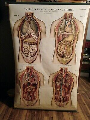 Vintage American Frohse School Anatomy Chart Chest & Abdomen Wall Map