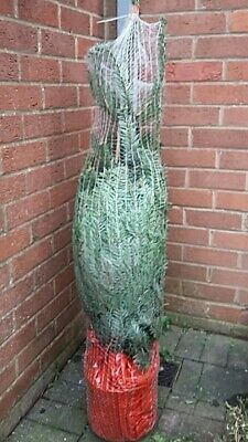 Nordmann Potted 4ft real Christmas tree