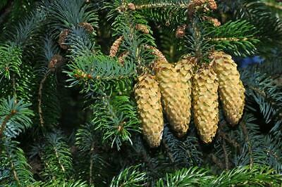 Picea  sitchensis plug  ideal bonsai subject Sitka spruce