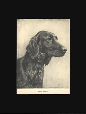 Irish Setter Dog Drawing Matted Print 1935 by Malcolm Nicholson