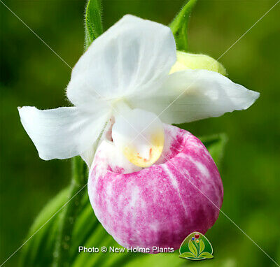 Cypripedium Reginae. The Showy Ladies slipper orchid.