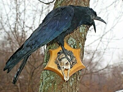 RAVEN ON a SCULL taxidermy