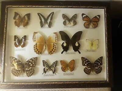 Real 12 Butterfly Taxidermy Rare Frame Display Mounted Insect Collectible #2