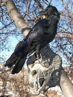 FREE SHIPPING! RAVEN ON a SCULL taxidermy