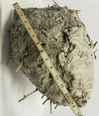 Paper Hornet Nest Large Taxidermy, Decor Science School, Man Cave.