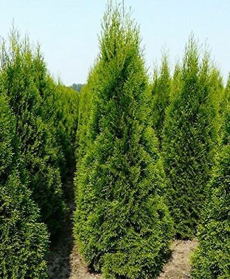 Conifer Tree Cypress Plant 1 x Cupressus in 10.5cm Pot by Thompson /& Morgan