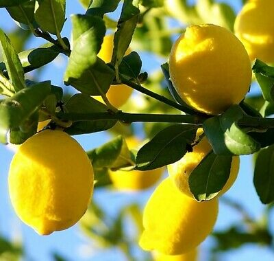 Citrus Lemon Plant Fruit Tree in a 9cm Pot Evergreen & Fragrant