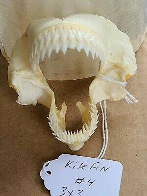 """RARE 3""×3"" KITEFIN SHARK JAW Jaws Tooth Dogfish Taxidermy Skeleton Skull"